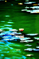 Lone Lotus Bloom