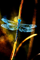 Blue Dragonfly On a Cracked Reed
